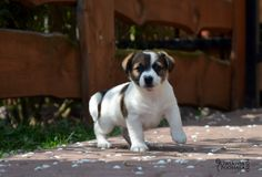 Jack Russell Terrier :)