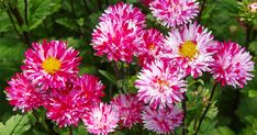 These flowers grew out of the soil when Greek goddess Asterea cried - Plant Talk - NurseryLive Wikipedia
