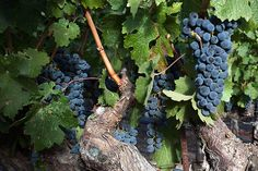 It is Cabernet Sauvignon harvest time but it could be soon or later depending upon the winemakers desire for acid or sugar. More sugar means less acid