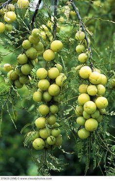 Amla - Indian gooseberry (Emblica officinalis)