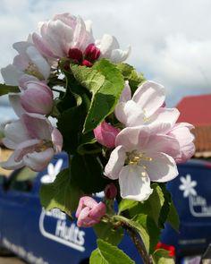 Bådar gott inför höstens äppleskörd! #lillahultsblommor #äppelblom