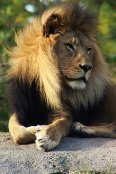 Lion Photograph - The African Lion by Lkb Art And Photography Lion King Pictures, Lion Images, Lion Side View, African Big Cats, Lion King Animals, Lion Photography, Lion Love, Lion Of Judah, Lion Tattoo