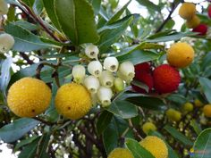 Image 2: Irish Strawberry Tree (Arbutus unedo) Family: Ericaceae (related to Heather, Rhododendrons, and Cranberries)  Mediterranean and Temperate Zone natural distribution (Europe) Can grow 5-15 metres in height Bland fruit contains many seeds Serrated leaf edges Prefers basic, limy soils, Hard in USDA zone 7-11