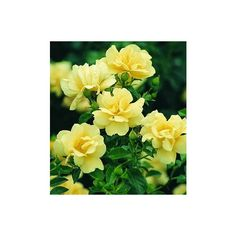 Flower Carpet Rose Yellow ❤ liked on Polyvore featuring home, home decor, yellow home decor, rose home decor and yellow home accessories