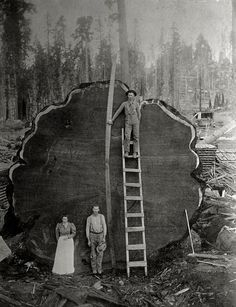 A massive effort to fell a giant.