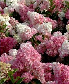 1000 id es sur le th me hydrangea paniculata sur pinterest hortensias quercifolia d 39 hortensia. Black Bedroom Furniture Sets. Home Design Ideas