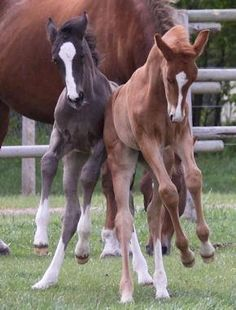 Left: Black foal coat 0-2months Right: Chestnut foal coat