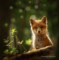 Fox in Lens - null