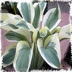 Hosta Regal Supreme