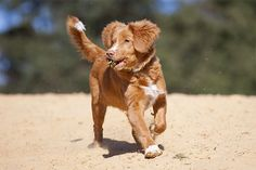 Nova Scotia Duck Tolling Retriever Dog Breed Picture