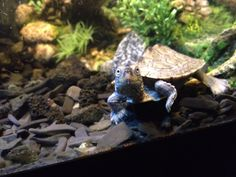 """My Mississippi Map turtle.  """"Little Foot"""""""