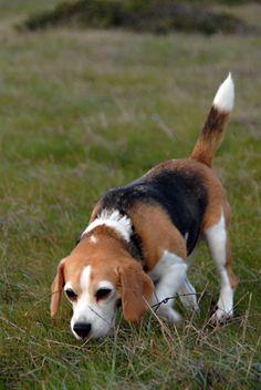 beagle by shawnrdavis, via Flickr