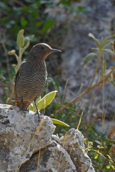 Blue Rock Thrush are common in our mountains and some venture down to lower altitudes for the winter. Bird Guides, Information About Birds, Blues Rock, Andalucia, Months In A Year, Bird Watching, Horses, Mountains, Winter