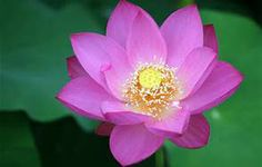 lotus flower from above - Bing Images