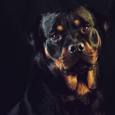 Bane, Rocky and Chief; the Rescue Rotties Rottweiler Pictures, Rottweiler Love, Rottweiler Puppies, Cute Puppies, Cute Dogs, Aesthetic Pictures, Dog Love, Best Dogs, Rottweilers