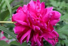 Perennial Eye Candy #peony #photography #card #print #canvas #nature #flower #pink