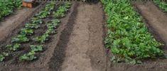 Tuto radu mi dal před lety tchán a těžíme z ní dodnes: Každý zahrádkář potřebuje pro bohatou úrodu jen tuto 1 věc! – Domaci Tipy Jena, Dali, Plants, Flora, Plant, Planting