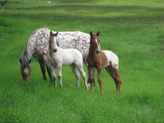 Pretty appaloosa horse family