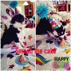 """Boris(fils de Gypsy et Sammy) qui a ''smasher le cake"""" pour sa fête lundi. Merci à sa maman Claudia de partager ce beau moment avec nous  www.machupitouchihuahua.com"""