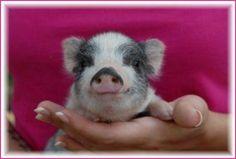 Cute Happy Little Piggy Wiggy