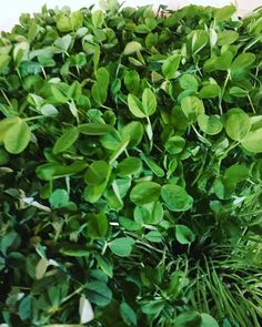 Check out the beautiful pea-shoots this morning #teamleeandmarias #organic #aquaponics #locavores #yqg #yqgfoods #fieldtofork