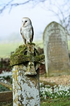 Barn Owl on gravestone