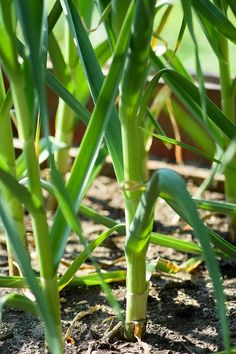 Knoblauchpflanzen
