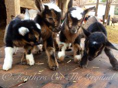 1 day old Nigerian dwarf goat quadruplets