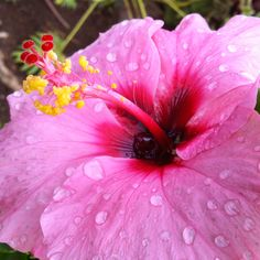 Pink hibiscus flower early in the morning.