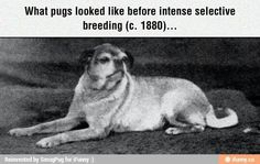 Funny pictures about Pugs Before Selective Breeding. Oh, and cool pics about Pugs Before Selective Breeding. Also, Pugs Before Selective Breeding photos. Pugs, Terrier, Selective Breeding, Popular Dog Breeds, The Kennel Club, Weird Pictures, Pug Love, Cool Photos, Interesting Photos