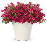 Top 50 Best Annuals of All Time | Proven Winners