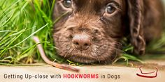 What is Hookworm? How Does it Affect The Life of Dogs? Reflecting on its Symptoms, Diagnosis and Treatment in Dogs