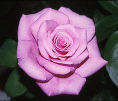 Fragrant Memory rose...on the search for this plant