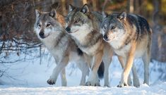 Image result for wild wolves