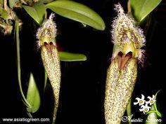 http://i25.photobucket.com/albums/c74/asiaticgreen/Orchids/Bulbophyllum/Bulbfascinator_Phil.jpg