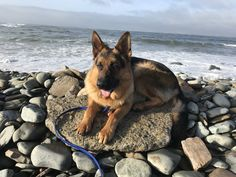 German Shepherds, German Shepherd Dogs, Dog Pond, Schaefer, Dog Life, Badass, Cute Animals, Mood, Future