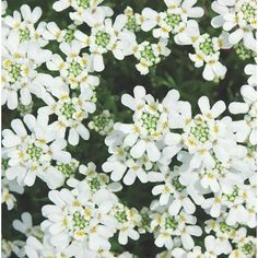 Color Unit, Spring Flowering Bulbs, Early Spring, Growing Plants, Evergreen, White Flowers, Gardening Tips, Perennials, How To Look Better