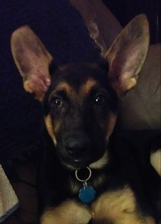 My cute beautiful baby marley🐕🐾❤ Gsd Puppies, Beautiful Babies, Baby Animals, Dogs, Cute, Puppys, German, Deutsch, Cubs