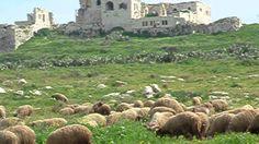Holy Land Sheeps - Ovelhas na Terra Santa - ISRAEL
