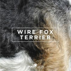 #Dog-Inspired #Design: We think the best, most #beautiful #coats belong to our four-legged family members. #WireFoxTerrier
