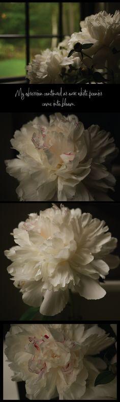 white-peonies-in-bloom