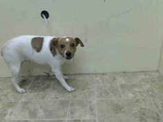 ~~SCARED 1 YR OLD PUP TO BE DESTROYED 7/25/14~~ Brooklyn Center  My name is ADI. My Animal ID # is A1007307. I am a female white and brown jack russ terr mix. The shelter thinks I am about 1 YEAR   I came in the shelter as a STRAY on 07/19/2014 from NY 11228, owner surrender reason stated was STRAY.