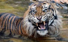 A Sumatran tiger snarls at the Ueno Zoological Gardens in Tokyo, Japan