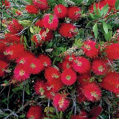 Bottlebrush. native to texas, drought-tolerant, showy flowers. option for hedge.