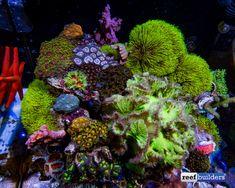 Sinularia dura, from: An explosion of color in Aqua Medic USA's Cubicus reef tank - Reef Builders Coral Reef Aquarium, Saltwater Aquarium Fish, Saltwater Tank, Marine Aquarium, Biorb Fish Tank, Nano Cube, Reef Tanks, Fish Tanks, Underwater Creatures