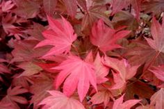 Russlyn in the Pink acer palmatum