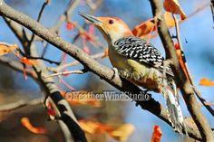 Red Bellied Woodpecker Photo | Fall Bird Art | Nature Lover Gift Idea | Wood Pecker | Feather Wind Studio | Outdoor Decor | Wild Bird Print by FeatherWindStudio on Etsy