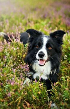 Border Collie in the flowers!