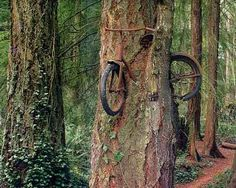 On Vashon Island (near Seattle, Washington), a tree grows carrying a rather unusual passenger – an old bike. Apparently some kid chained a bike to the tree decades ago and never picked it up, leaving the tree no choice but to grow around the bike.