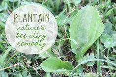 Plantain and Plantain Vinegar remedies